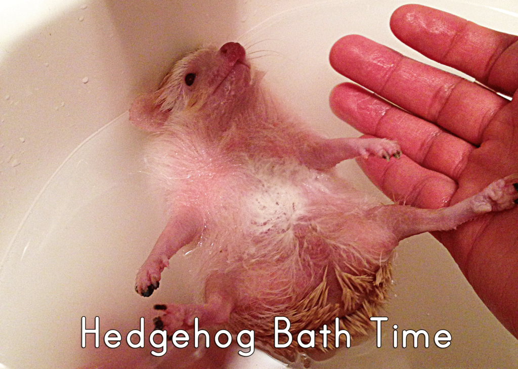 hedgehog-bathtime