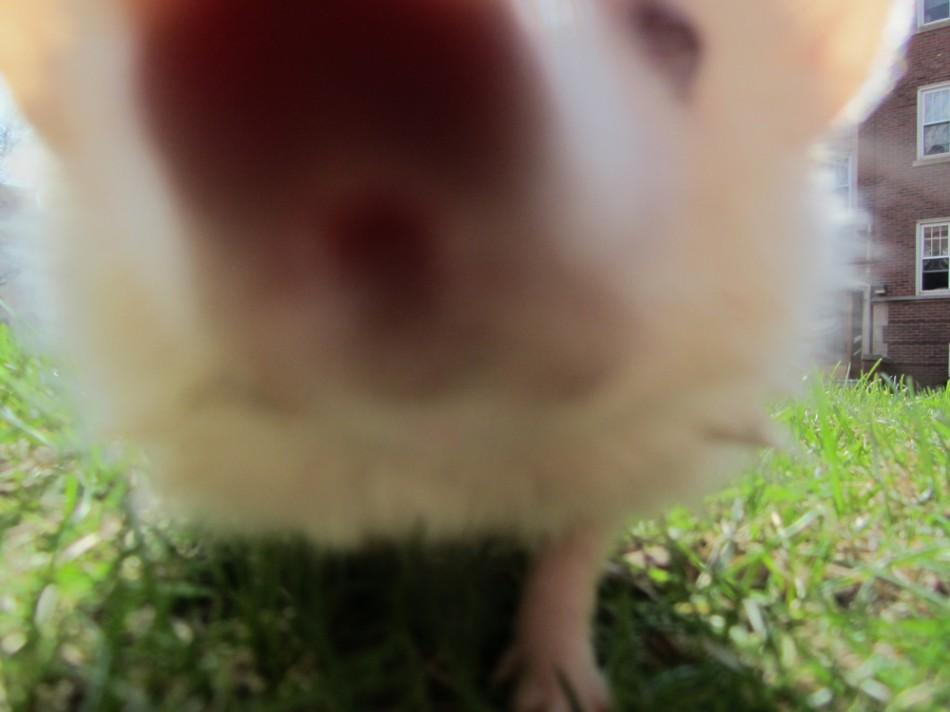 Falafel the Hedgehog goes outside