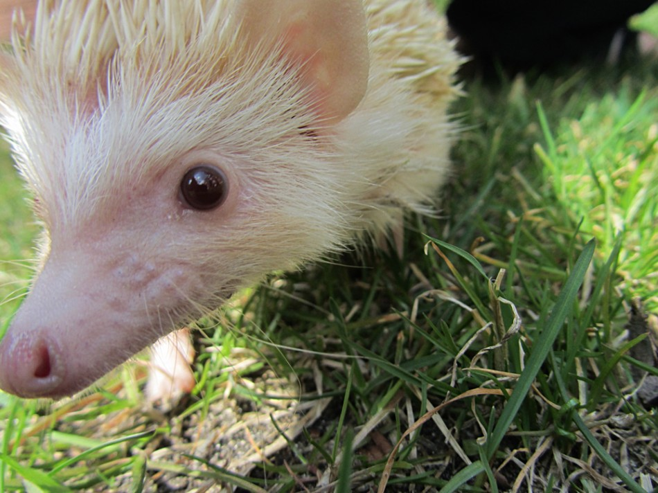 Falafel the Hedgehog goes outside
