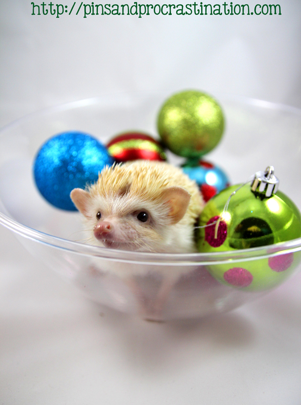 Falafel the hedgehog brings cuteness to a new level! Happy holidays from the adorable hedgehog.